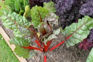 Growing Swiss Chard in Your Backyard