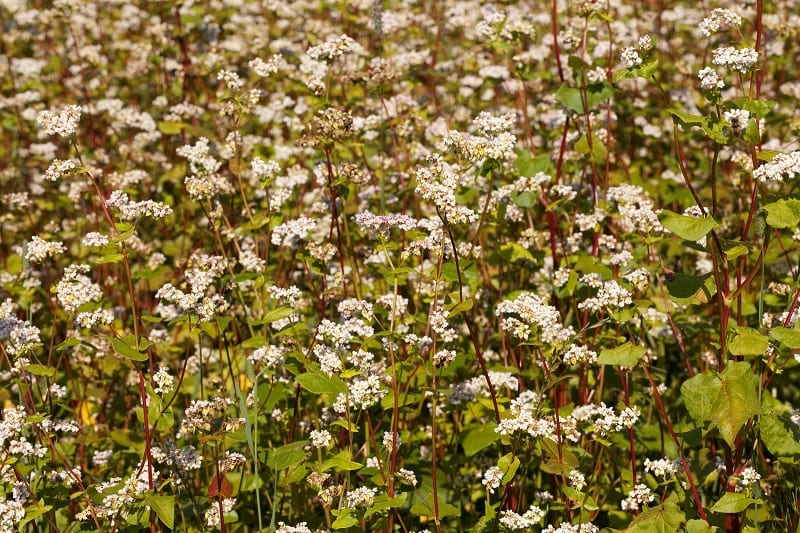 A cover crop is a specific crop that is grown primarily for the benefit of the soil rather than crop yield.