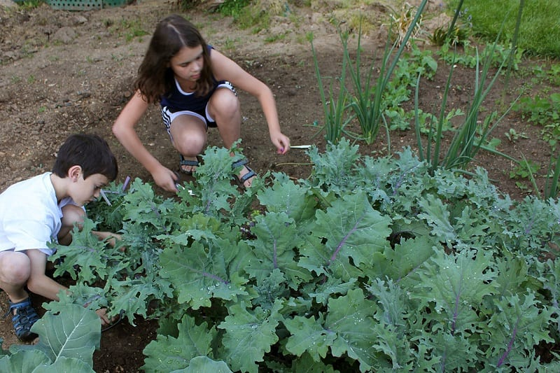 Swiss Chard and Kale were not common in the United States before the Victory Gardens of World War II.
