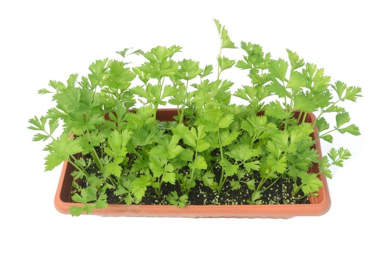 Because the plant requires a long growing season, first-time planters are probably better off starting them from seedlings.