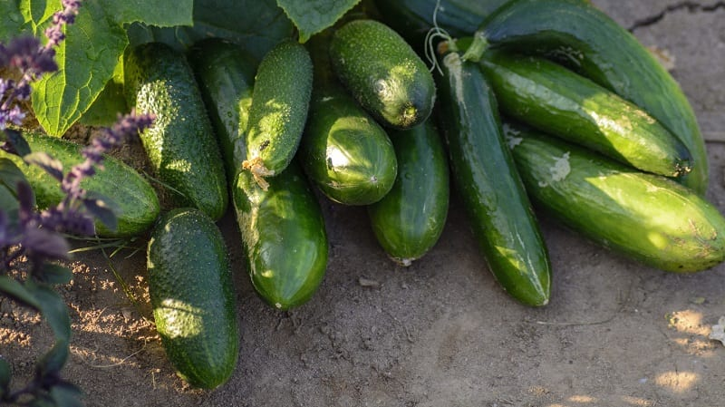If possible, plant cucumbers in the sun next to a fence.