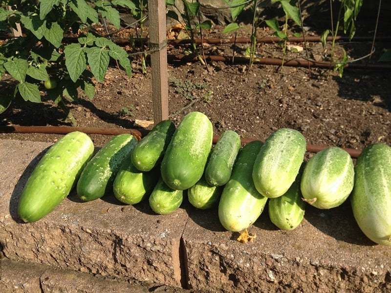 You should plant cucumbers in well-drained soil with ample sunlight.