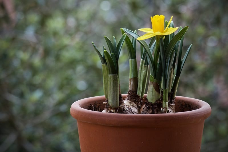 Daffodils will endure a bit of crowding, but they prefer to be spaced about 3 to 6 inches apart.