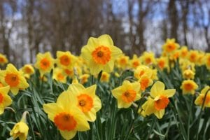 Here's How You Grow and Maintain Daffodils