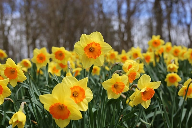 The typical daffodil flower will often be an impressive yellow or white, with six petals and a lavish trumpet-shaped central corona.