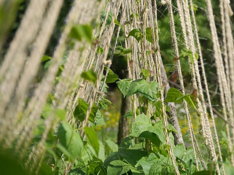 Avoid any synthetic fertilizers as many contain ingredients that can actually hinder the growth of green bean plants.