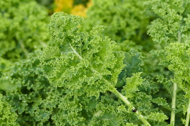 Kale is a hardy, cold-tolerant vegetable that can be grown almost year-round in some places.