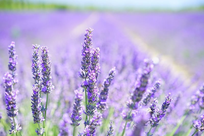 Deer are reluctant to walk through lavender.