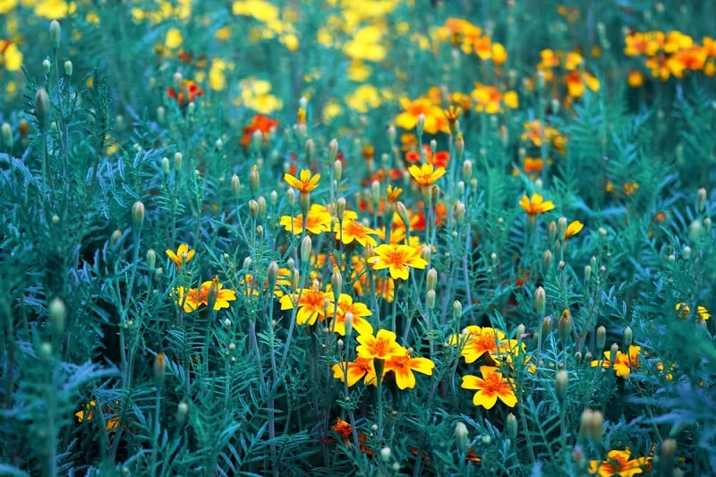 True to its reputation as a no-muss, no-fuss plant, marigolds will flourish in less than fertile soil.