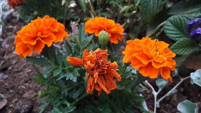 Marigolds will tolerate up to 20 percent shade.