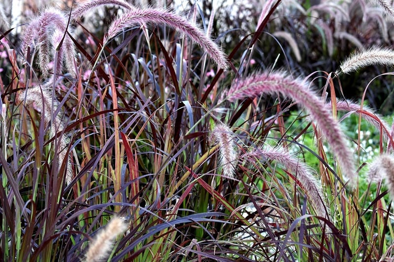 Ornamental grasses can bring a welcome splash of color, contrast, and texture to any garden.