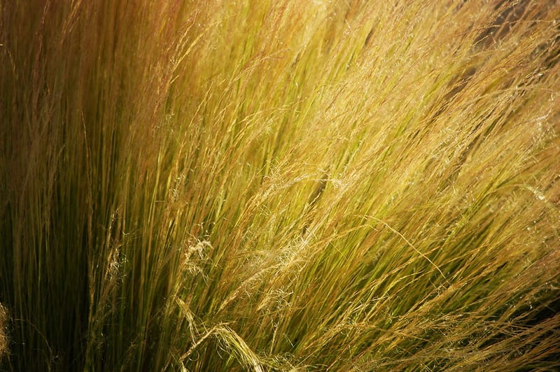 Once established, ornamental grasses hold fairly well against drought.