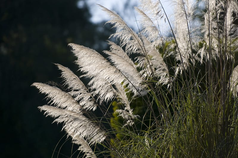 Many experts are of the opinion that grasses with interesting textures are best displayed in groups.