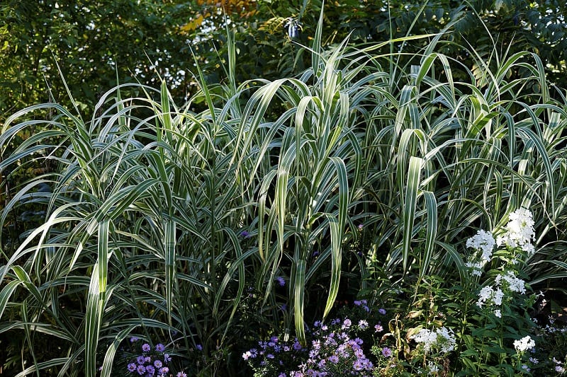 Grasses are hardy, but you should water a new plant regularly over the first few years.