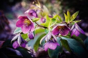 Perennial Dream: How to Grow Hellebores