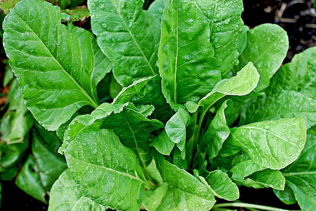 Spinach is one of the most nourishing cool-weather crops to grow, yielding vitamin-rich, dark green leaves that are excellent for salads and cooking.