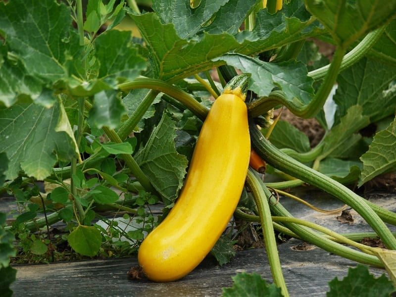 You can start your squash seeds indoors or buy squash seedlings for a quicker harvest.