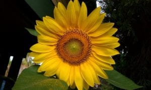 Easy Growing Guide: How to Grow Sunflowers