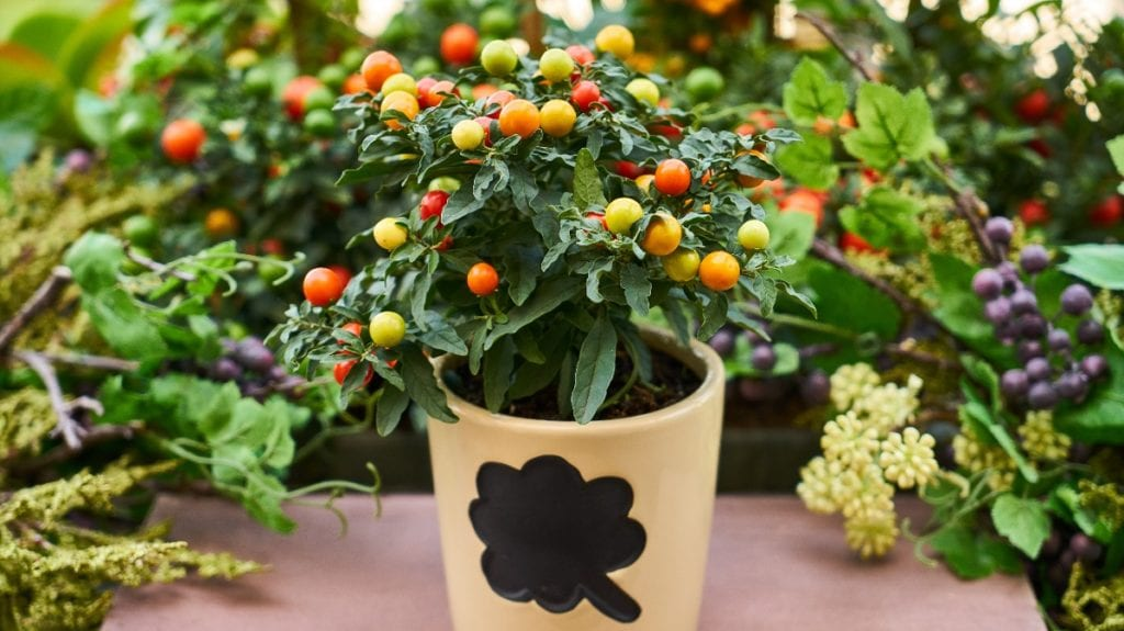 Tomatoes in Container