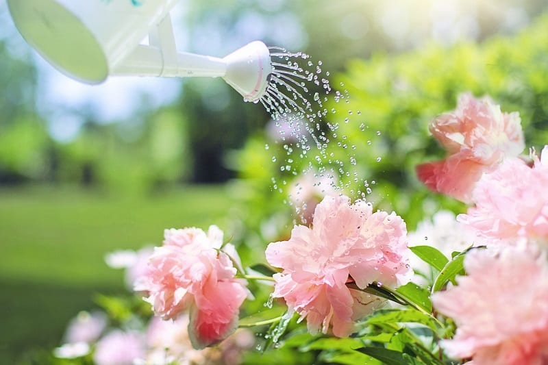 Once your plants are in the ground, water them carefully and thoroughly.
