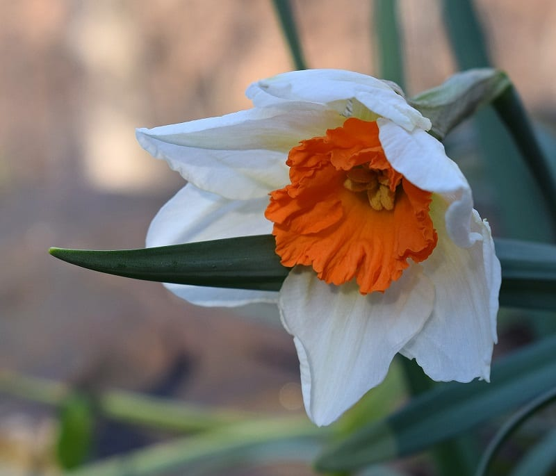 Daffodils do not thrive in hot, wet areas.