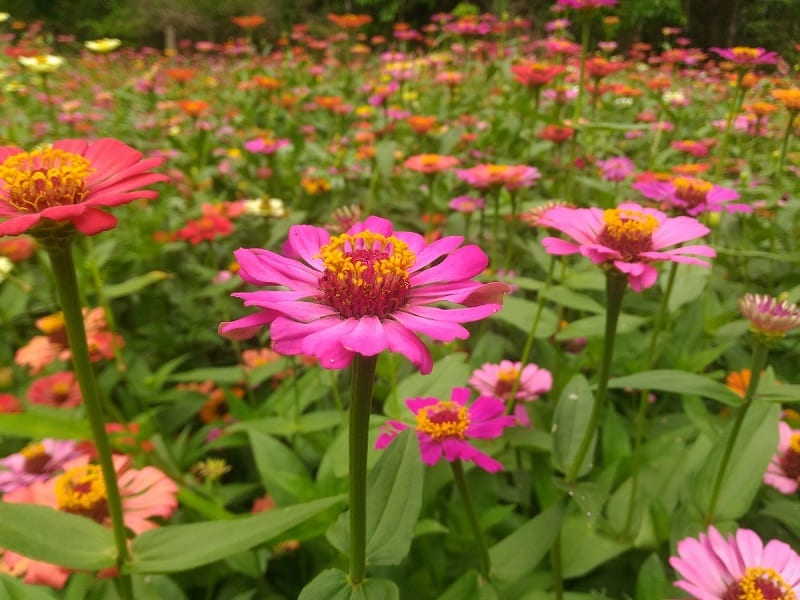 Zinnias bring a breathtaking explosion of color to a garden when they are in bloom.