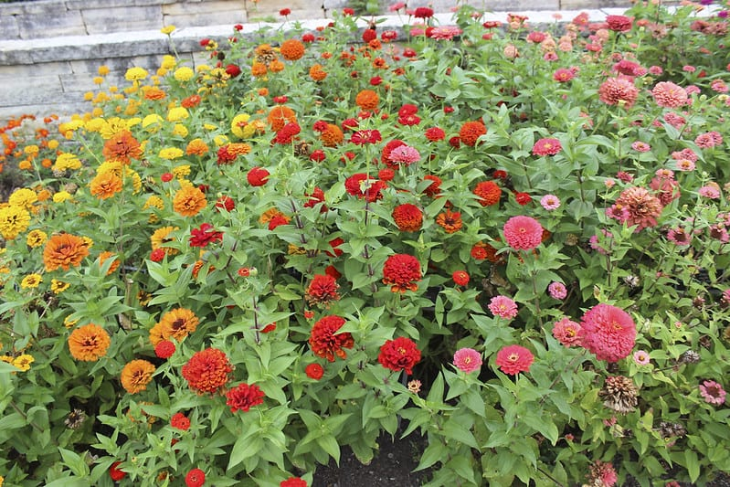 Maintain moderate soil moisture and fertilize the soil lightly to maximize growth and blooms.