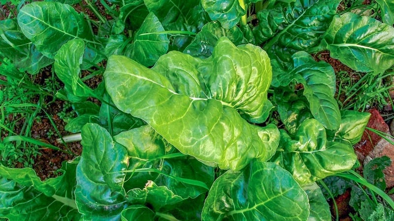 You can plant spinach in full sun or light shade.