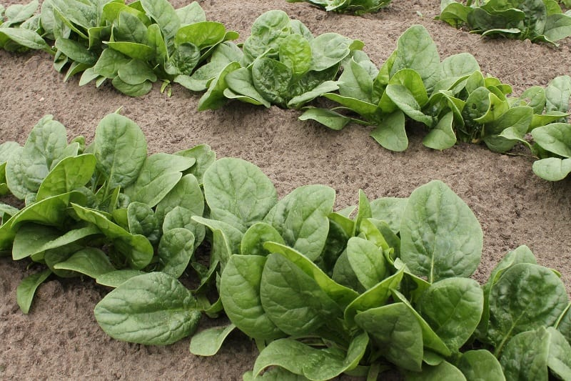 You can start harvesting from any spinach plant that has a few three-or-four-inch-long leaves.