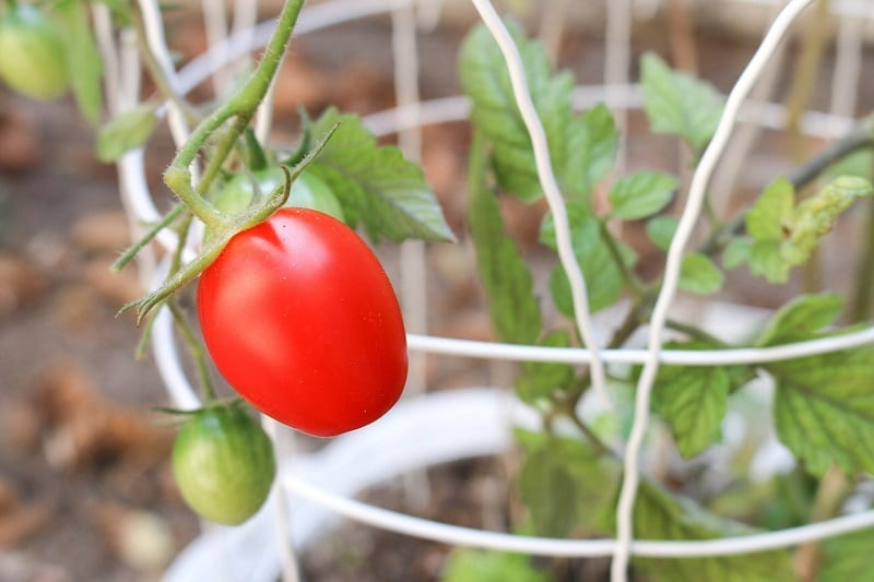 Insert a support stake or cage into the soil when you plant each tomato.