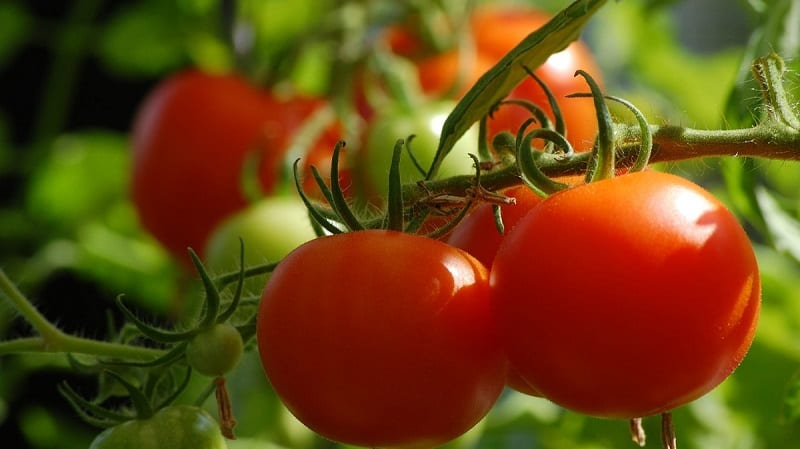 You can enjoy homegrown tomatoes even without a yard.