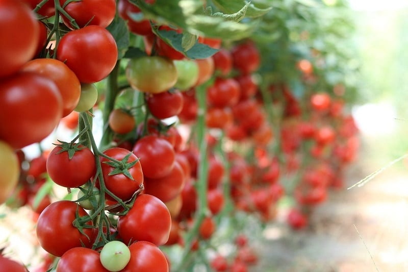 Homegrown tomatoes taste like nothing on a store shelf: they are sweeter, juicier, and have a fuller flavor.
