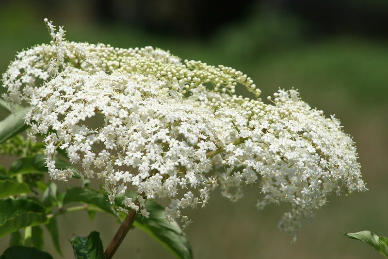 Baby's breath plants can also cause vomiting and diarrhea in your canine buddies.
