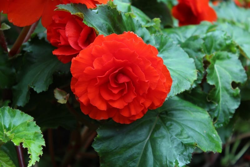Begonias can cause some very uncomfortable symptoms in your canine pets.