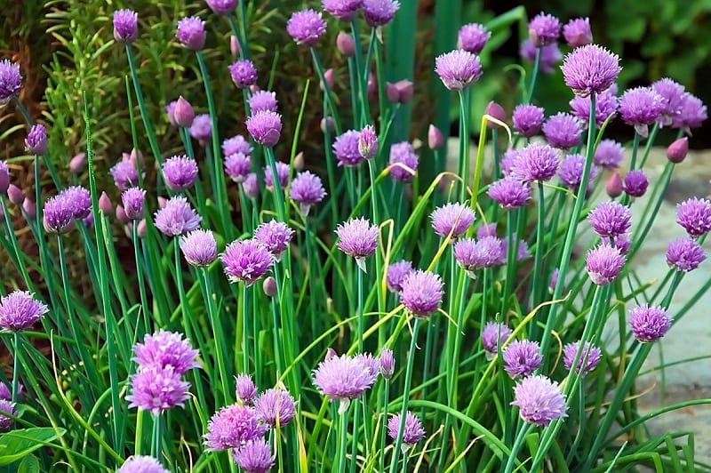 Pollinators - bees, in particular - love the splendid white, lavender, pink, or purple flowers of chives.
