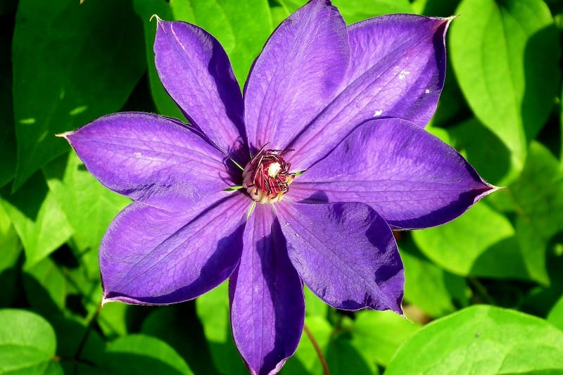 The lovely clematis can cause excessive drooling, vomiting, and diarrhea in dogs.