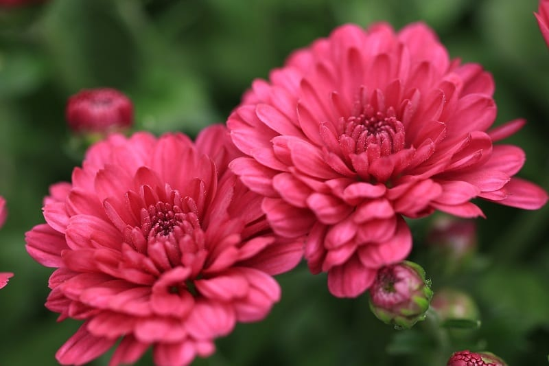 Chrysanthemums have a mildly toxic effect on dogs.