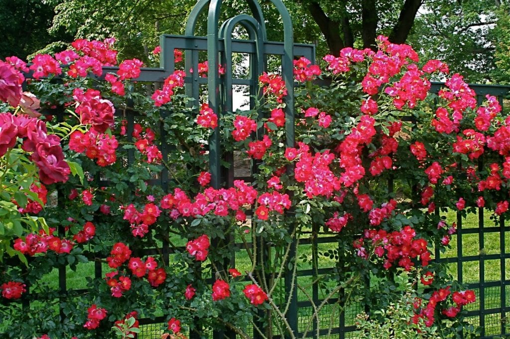 Bougainvillea is an easy to grow climbing plant with purple/red flowers