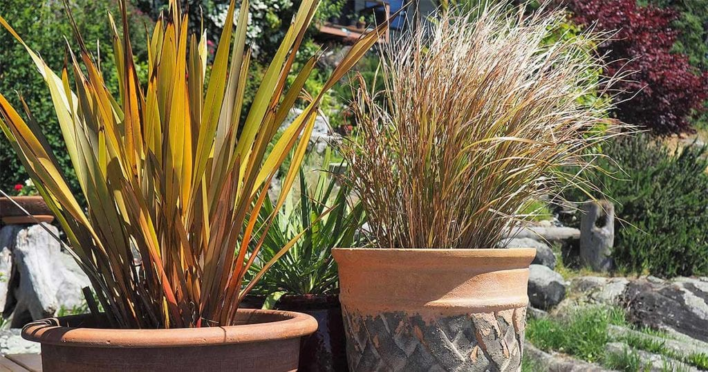 Ornamental grasses are relatively easy to grow and can thrive in a pot or planter