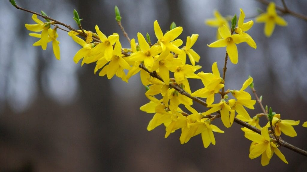 How to Grow Forsythias from Stem Cuttings