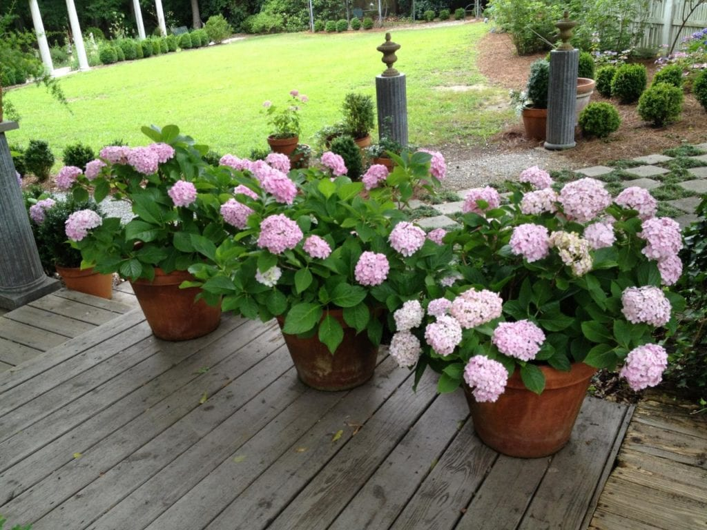 Hydrangea flowers can create a real mess, but the cleanup is worth it