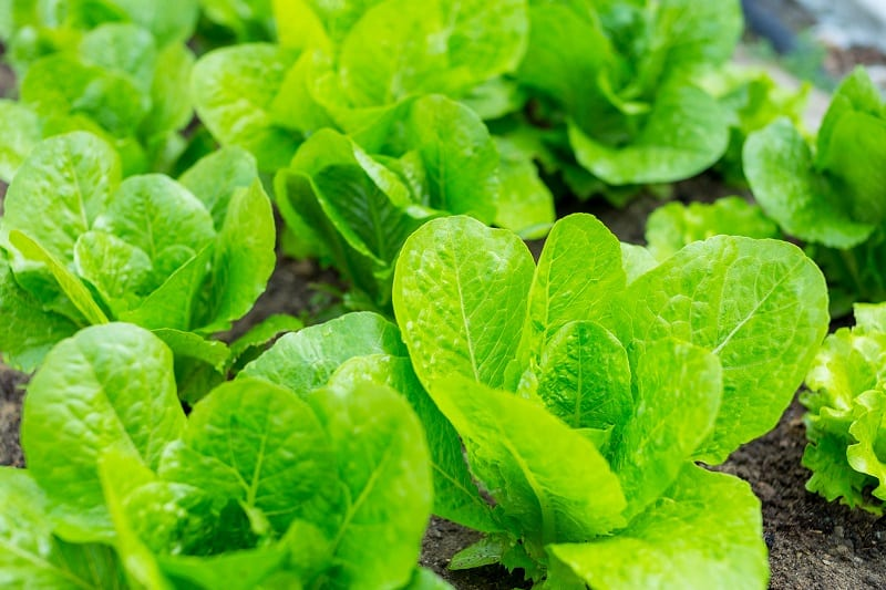 Sow lettuce seeds now and you'll be harvesting lettuce leaves in about 6 to 8 weeks.