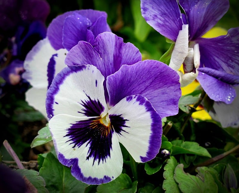 Remember to water pansies regularly.