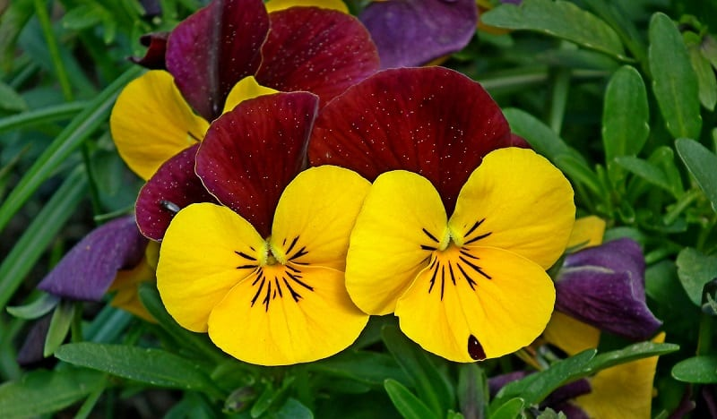 Although delicate, pansies are surprisingly hardy.