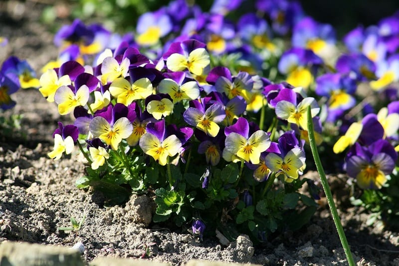Pansies like a sunny spot through the cooler months.
