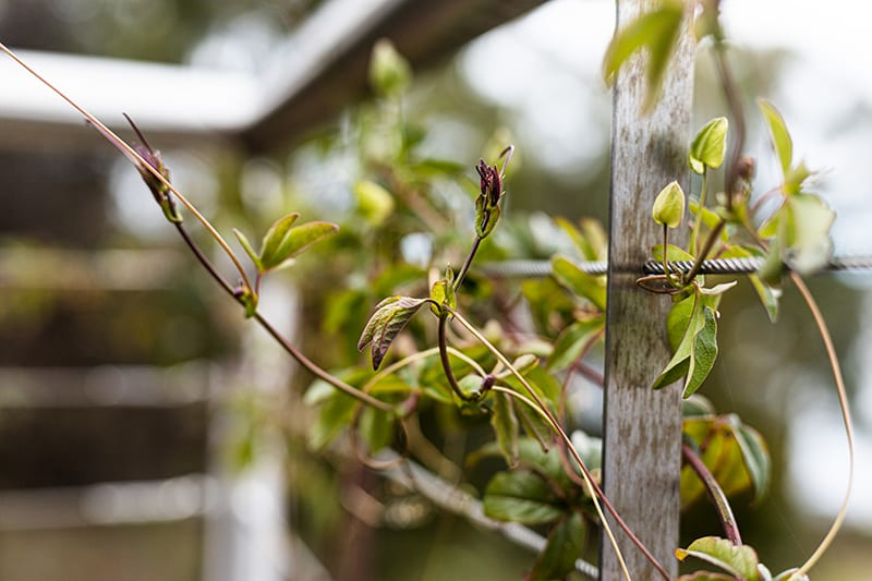 Passionfruit vine is a strong climber and can be harvested for its first fruit approximately 6-8 months after planting