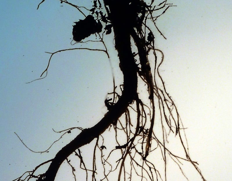 When you dig or move plants, you will probably have to bother the root system a bit.