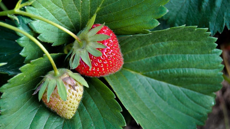 The best strawberries you will ever taste will have to come from your garden.