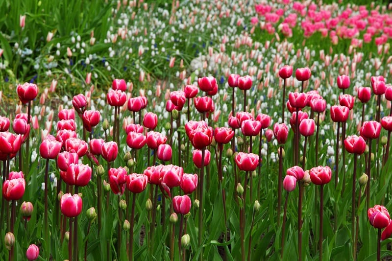 Tulips can cause vomiting, depression, diarrhea, and drooling in dogs.