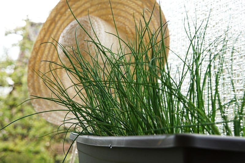 If you plan to grow chives in a container, use potting soil to ensure better drainage.